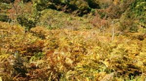 151017_ワラビ畑